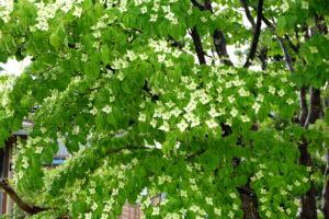 ヤマボウシ、ツツジが咲き出しました