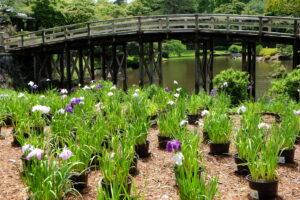 虹の郷の花しょうぶ